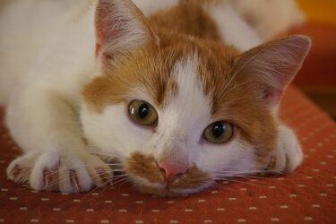 猫の爪切りはいつから必要?爪切りのポイントや病院でかかる料金は?