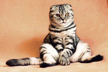 去勢後なのに…猫のマウンティングを目撃してしまった!どうしてしてるの?やめさせないといけないの?