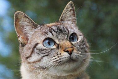 猫が去勢後に太る理由と対処法!ダイエットしないといけないの?