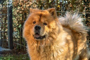 クシャクシャの顔が魅力!チャウチャウ犬の性格ってどんなの?凶暴って噂は本当?