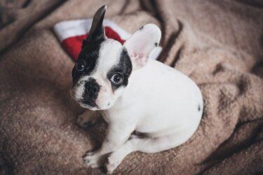 【子犬】トイレトレーニングはいつからすると覚えやすい?失敗の原因と対策は?