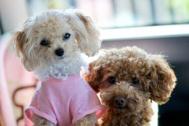 トイプードルの子犬のシャンプーはいつから?頻度は?自宅でやるときのコツを解説!