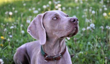 【ワイマラナー犬】寿命と注意すべき遺伝病について!ロングコートの場合は?