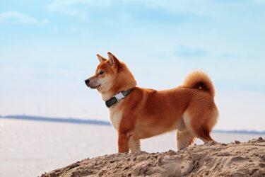 柴犬の夏毛がスカスカに!抜けすぎだけど大丈夫?地肌が見えるほどの抜け毛の理由とは?