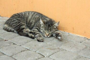 【野良猫】猫の去勢・避妊手術にかかる費用はどれくらい?助成金や受けられる支援について